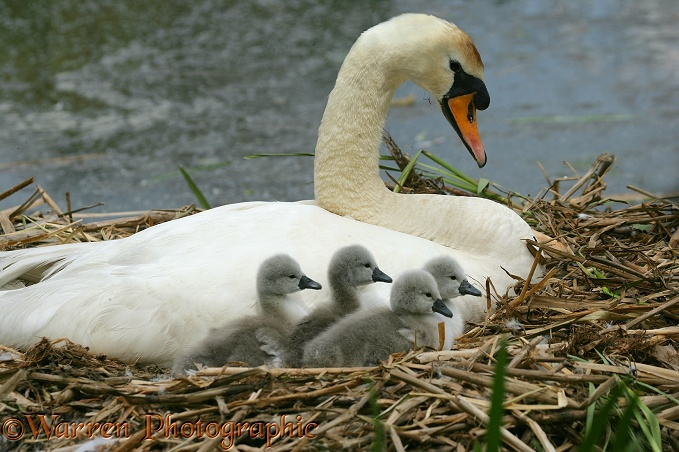 Mute Swan (Cygnus olor) day old cygnets with pen