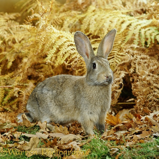 European Rabbit (Oryctolagus cuniculus).  Europe, North Africa