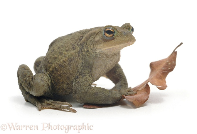 Common Toad (Bufo bufo), white background