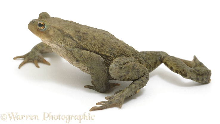 Common Toad (Bufo bufo) walking, white background
