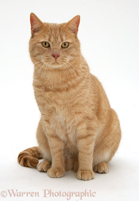 Cream spotted British shorthair cat, Horatio (formerly D05114), white background