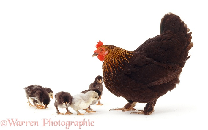 Little black bantam hen with chicks, white background