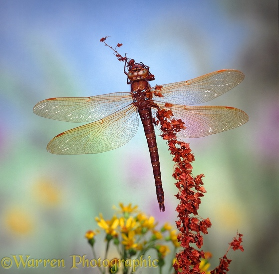 Brown Hawker Dragonfly (Aeshna grandis) male.  Europe