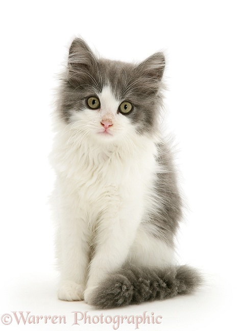 Grey-and-white kitten sitting, white background