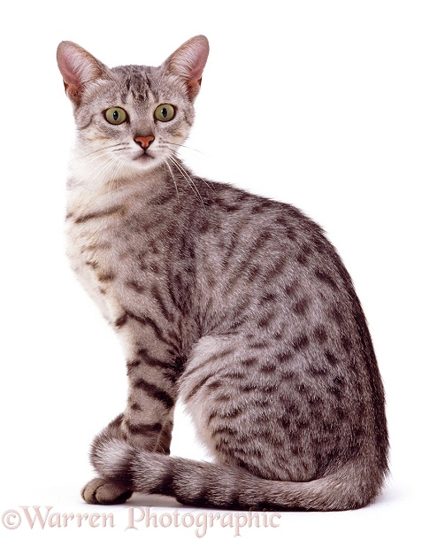 Silver spotted Egyptian Mau cat Holly sitting, white background