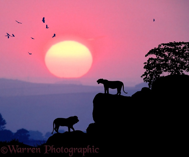 Lions (Panthera leo) with circling vultures at sunset.  Africa