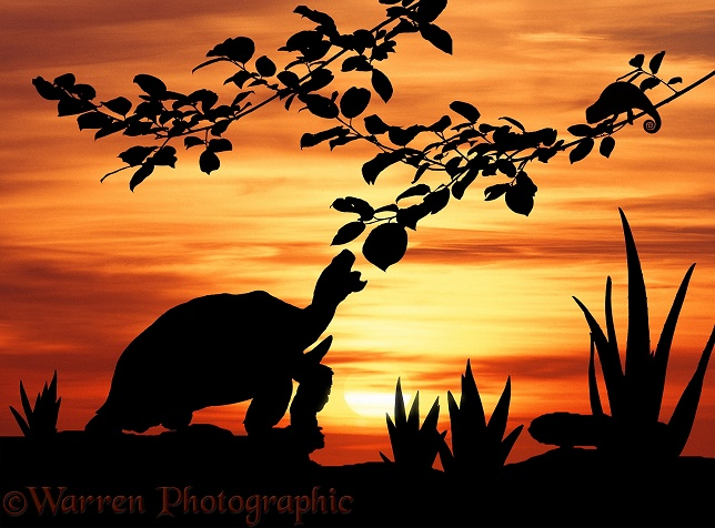 African Giant Tortoise (Testudo sulcata) taking a last bite at sunset with Flap-necked Chameleon preparing to sleep.  Africa