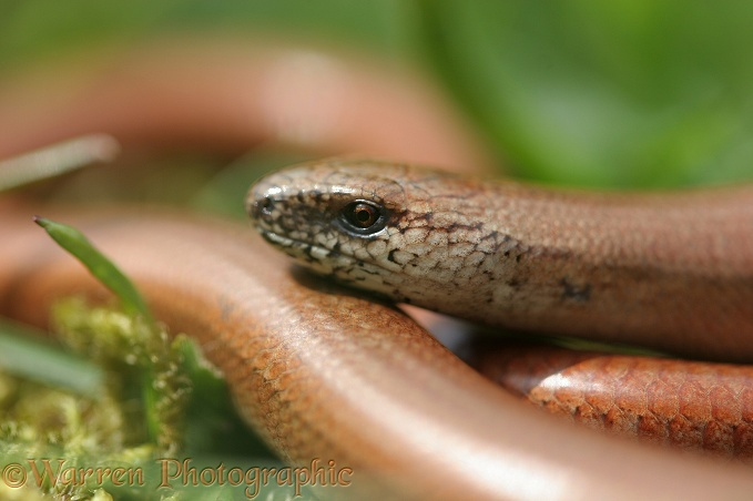 Slow-worm (Anguis fragilis) juvenile.  Europe
