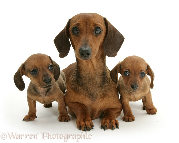 Dachshund mother and puppies, white background