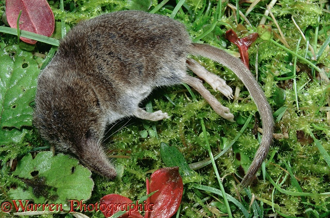 Pygmy Shrew (Sorex minutus) as most commonly seen, lying mysteriously dead.  Europe, Asia
