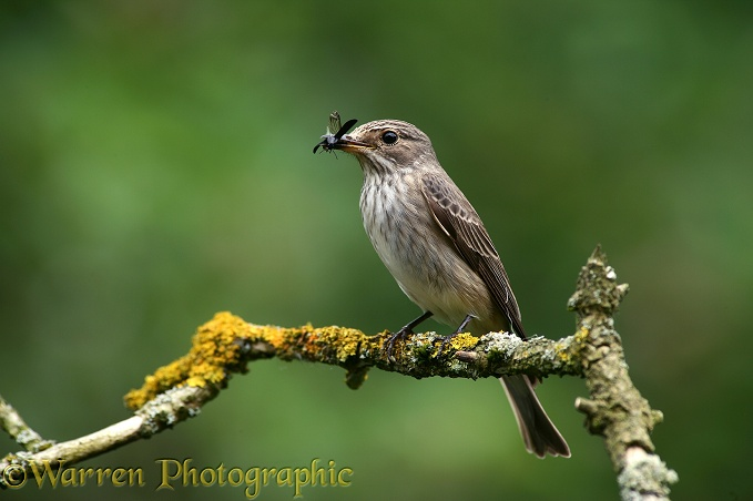 Spotted Flycatcher (Muscicapa striata) with beetle