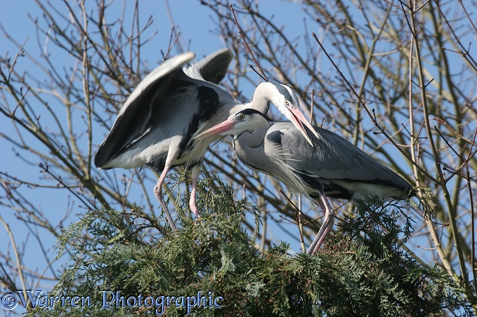 Grey Herons mating