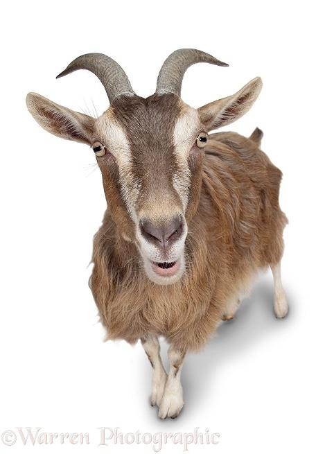 Pygmy x Toggenburg goat