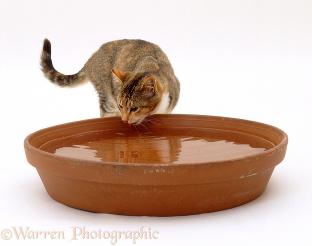 Tortoiseshell-and-white cat Pansy drinking from a terracotta bowl, white background