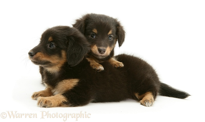 Miniature Dachshund x Shetland Sheepdog pups, 6 weeks old, white background