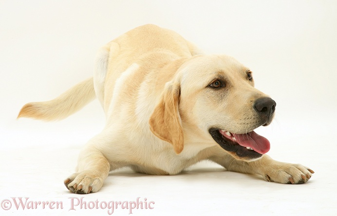 Yellow Labrador dog Jasper, white background