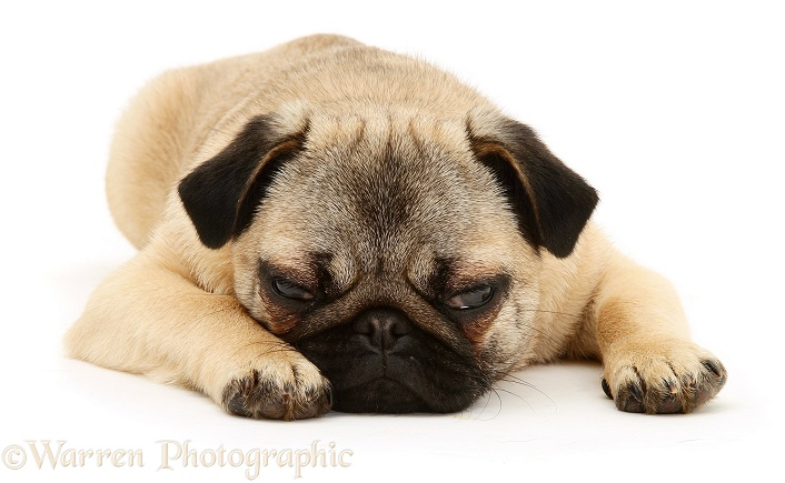 Fawn Pug bitch lying chin on the floor, sleepy, white background