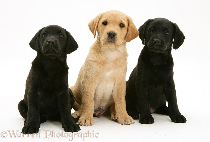 Two Black and one Yellow Labrador Retriever pups, 8 weeks old