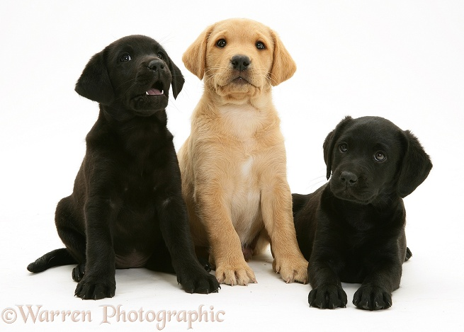 Two Black and one Yellow Labrador Retriever pups, 8 weeks old, white background