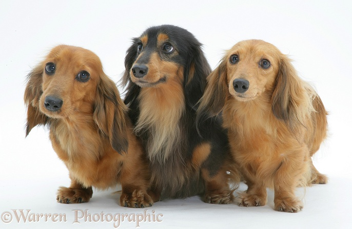 Three miniature longhaired Dachshunds standing, white background