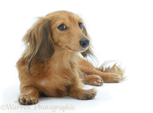 Red miniature longhaired Dachshund lying, head up, white background