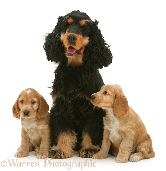 Black-and-tan Cocker Spaniel, Billy, with two gold pups, white background