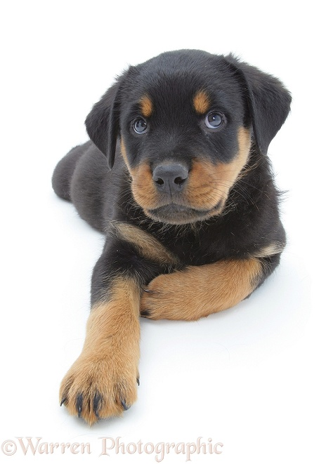 Rottweiler pup lying, head up, white background
