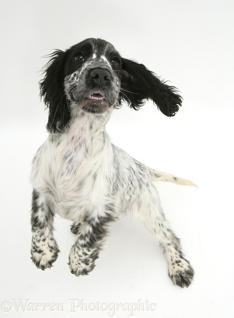 Black-and-white Cocker Spaniel pup, Bubbles, jumping up, white background
