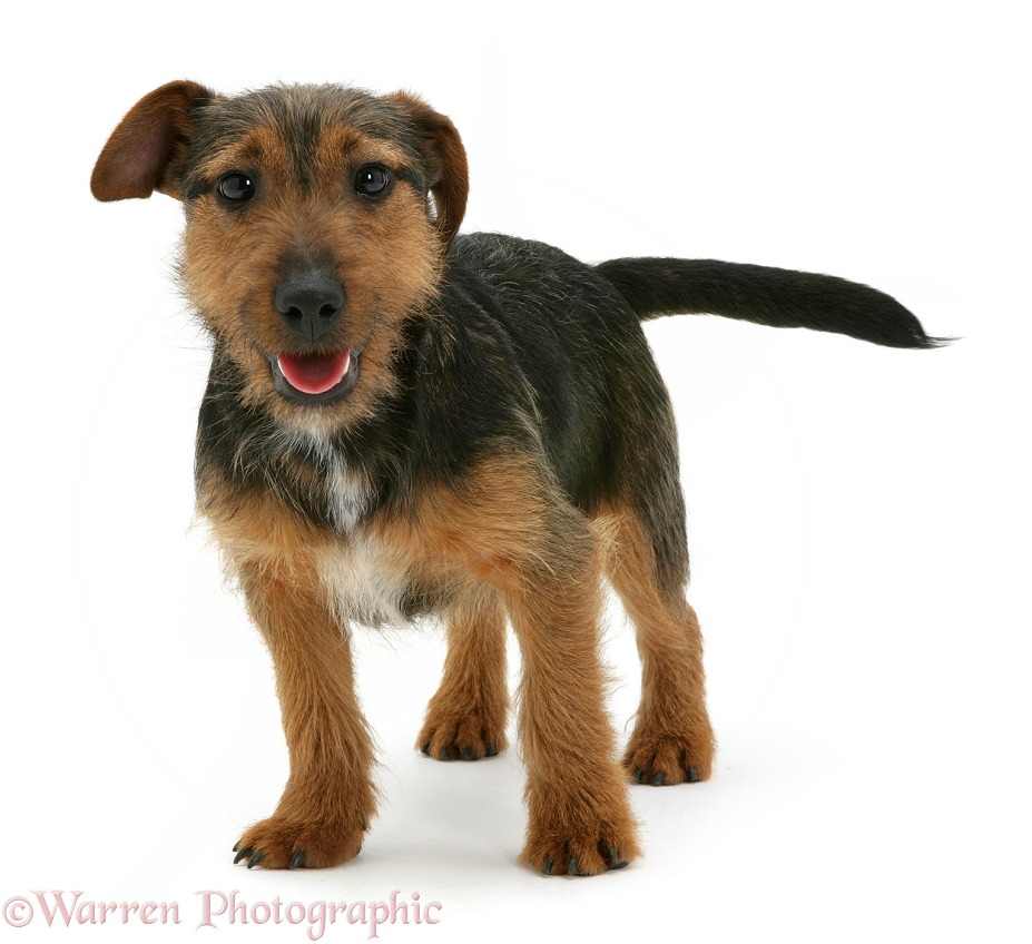 Black-and-tan Jack Russell Terrier dog pup Gizmo, white background