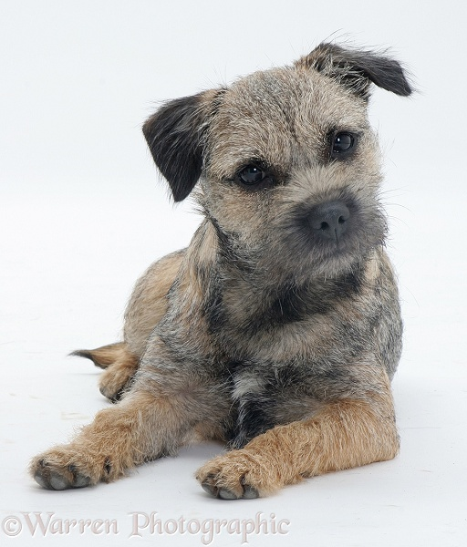 Border Terrier Bella lying, head cocked, white background