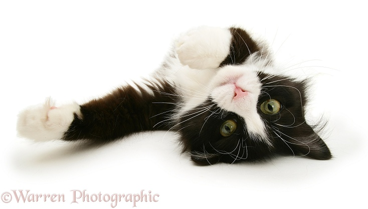 Black-and-white cat Flora, rolling in a playful manner, white background