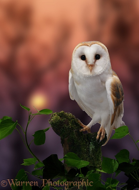 Barn Owl (Tyto alba) at sunset
