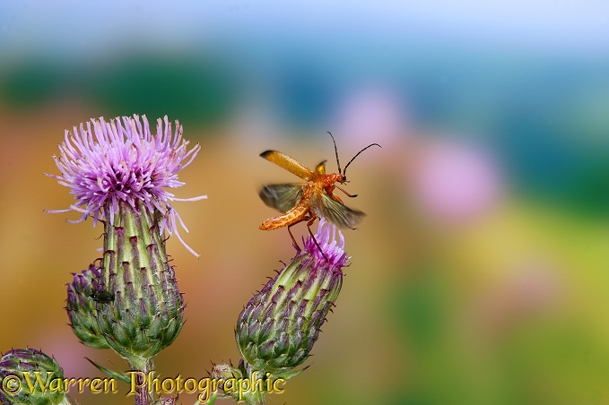Black-tipped Soldier Beetle (Rhagonycha fulva) taking off from Creeping Thistle (Cirsium arvense)