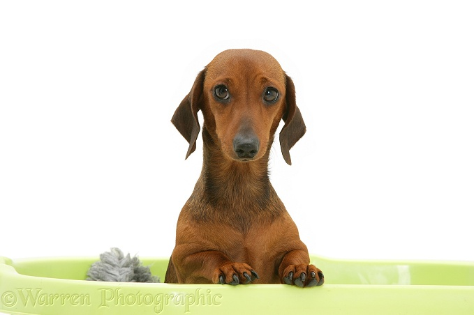 Red miniature Dachshund bitch, paws over, white background