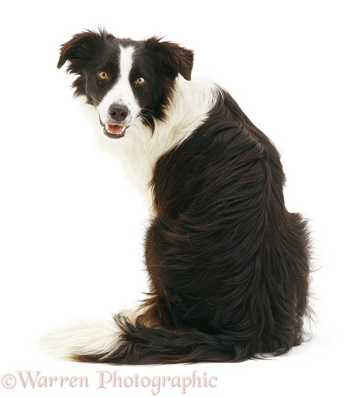 Black-and-white Border Collie dog, Tai, sitting, back view, looking over his shoulder, white background