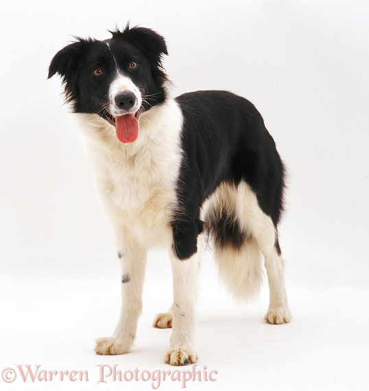 Black-and-white Border Collie bitch Phoebe, white background