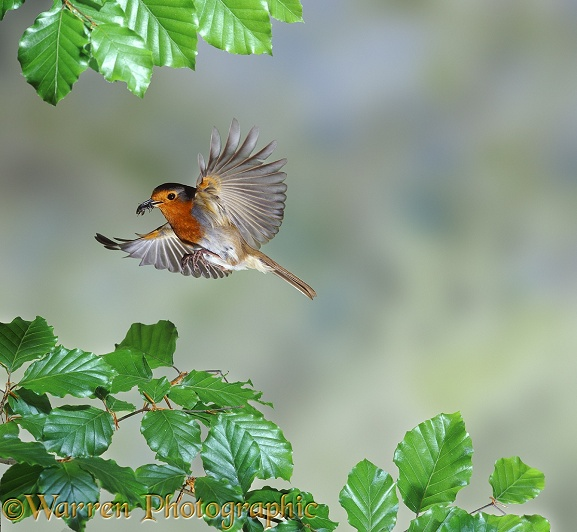 European Robin (Erithacus rubecula) bringing food to the nest