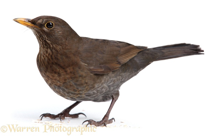 Blackbird (Turdus merula) female, white background