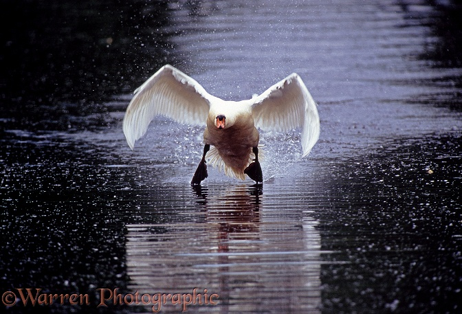 Mute Swan (Cygnus olor) cob taking off from water