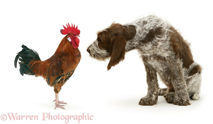 Rooster and Spinone pup, Wilson, 12 weeks old, facing each other, white background