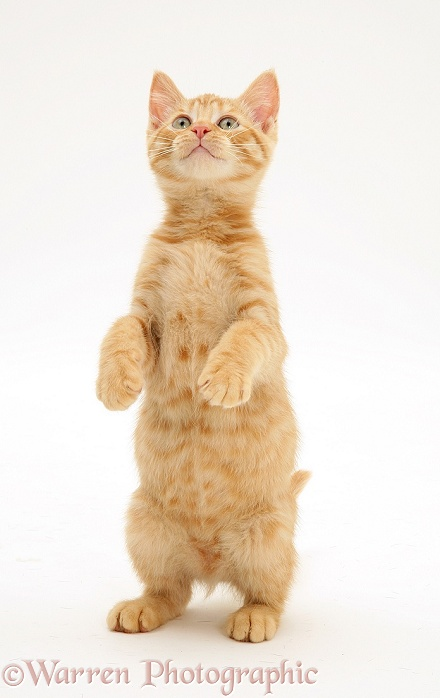 Ginger kitten Sparkle standing, white background