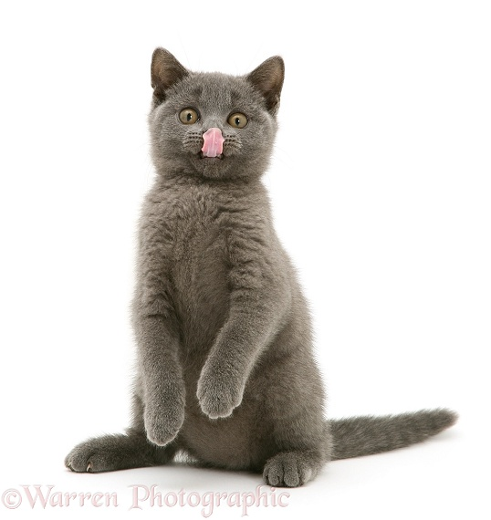 British Shorthair Blue kitten Taz licking its nose, white background