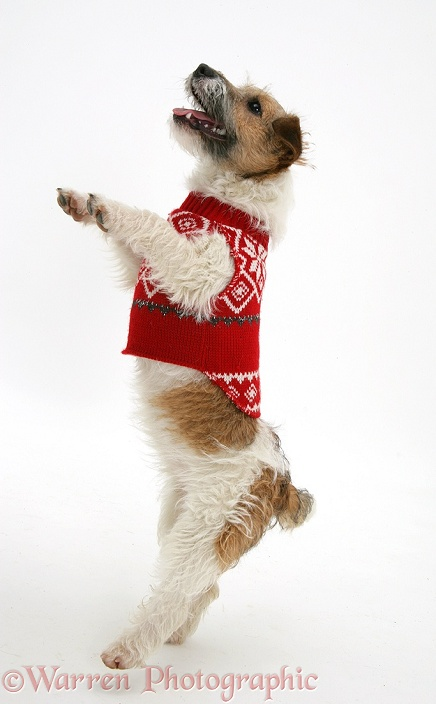 Jack Russell Terrier bitch, Buttercup, with a jersey on, jumping up, white background