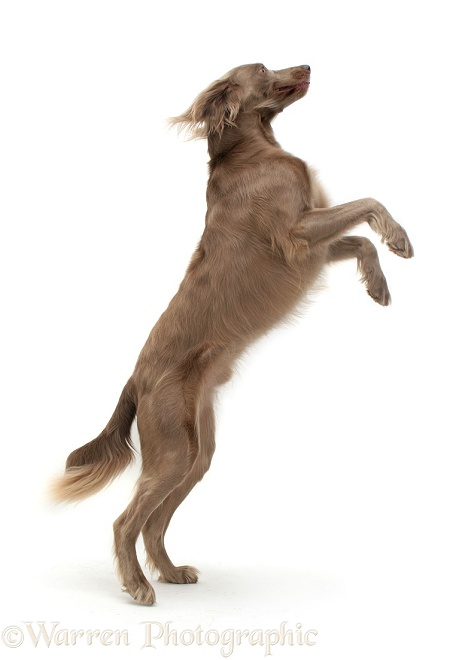 Long-coated Weimaraner dog Max on hind legs, white background