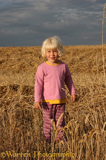 Siena in wheat field.  Whitenothe, Dorset