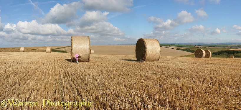 Siena with roly-poly bales.  Whitenothe, Dorset