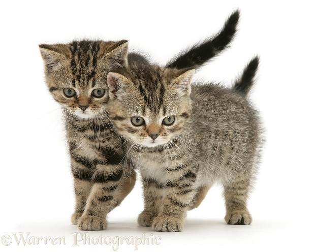 British Shorthair Brown Tabby kittens Tiger Tim and Tiger Lily, white background