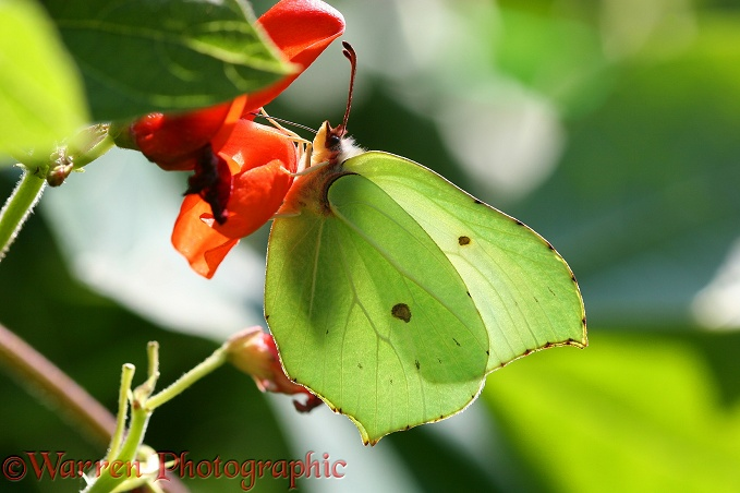 Brimstone Butterfly (Gonepteryx rhamni) female feeding on runner bean flowers.  Europe