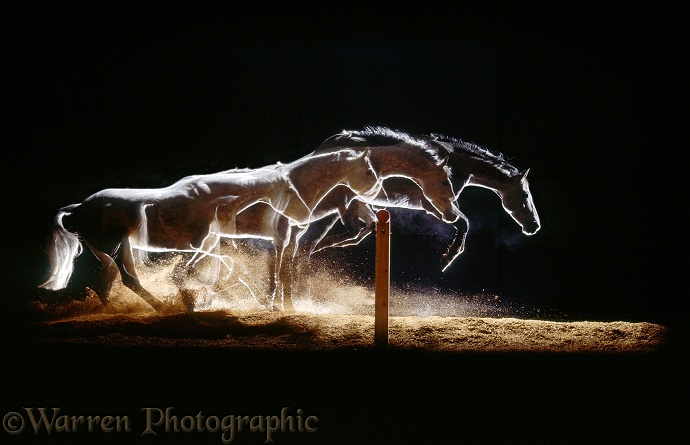 Welsh pony Joy clearing a fence on her own.  Four images at half second intervals