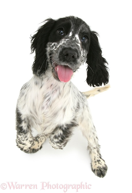 Cocker Spaniel pup standing looking up, white background